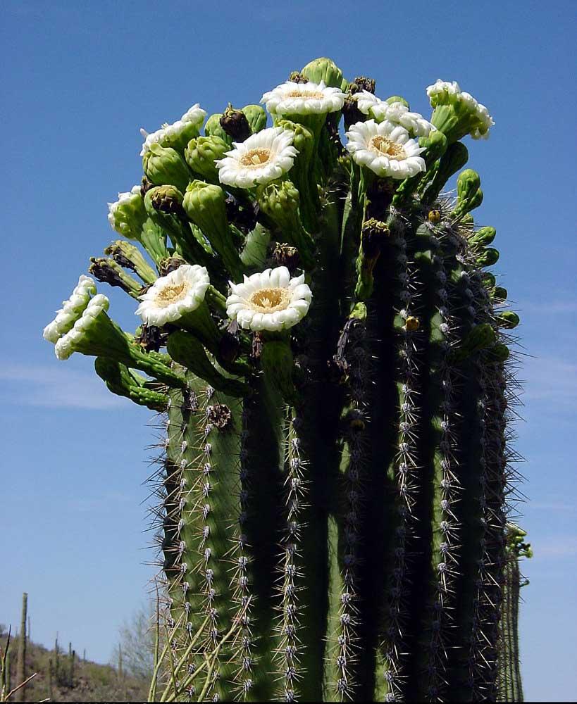 Practical Biology: science for everyone: Saguaro Cactus ... |Saguaro Cactus Flowers