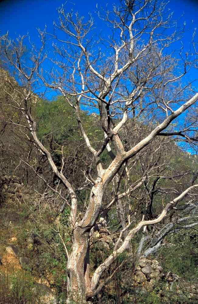 Alamos Trees Erythrina Flabelliformis