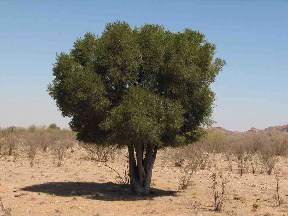 Online Certificate Programs >> Alamos Trees; Forchhammeria watsonii