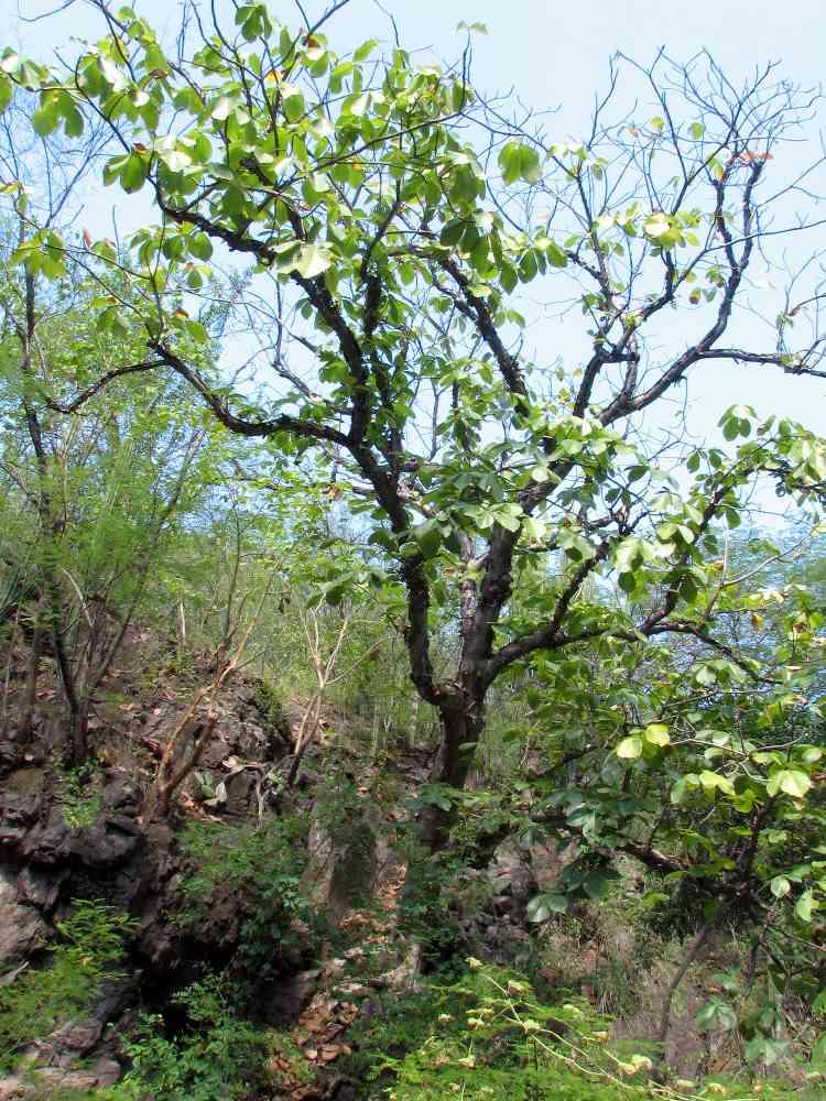 Alamos Trees